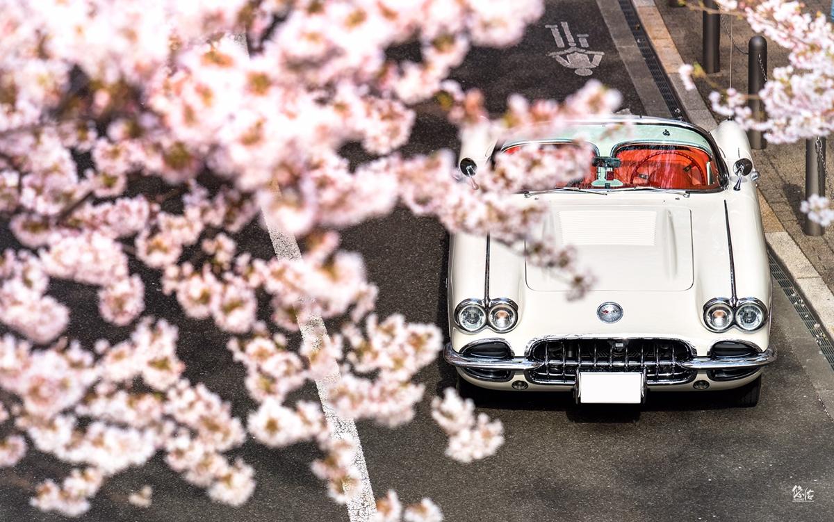 Chevrolet Corvette C1 × 桜 | 車真